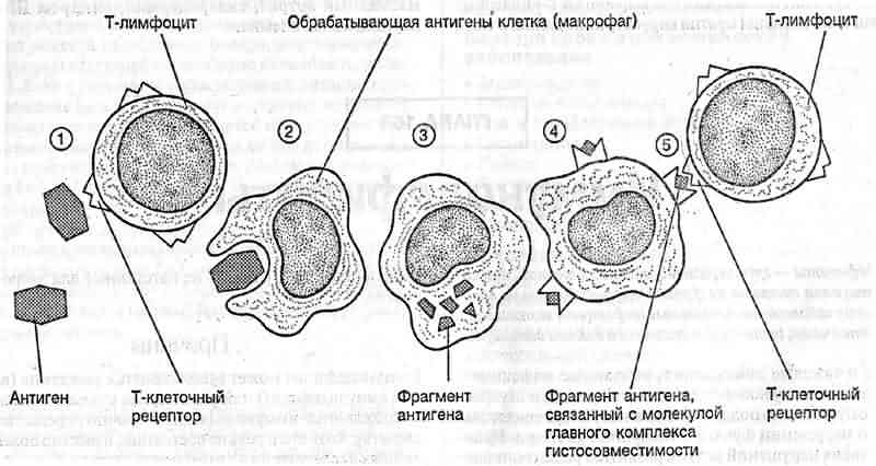 Клетка Антиген-Представляющая